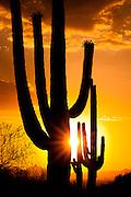 Saguaro cacti at sunset in Saguaro National Park, Tucson, Arizona