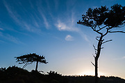 Windblown evergreen trees and whispy clouds, evening light, October, Fort Worden State Park, Jefferson County, Olympic Peninsula, Port Townsend, Washington, USA