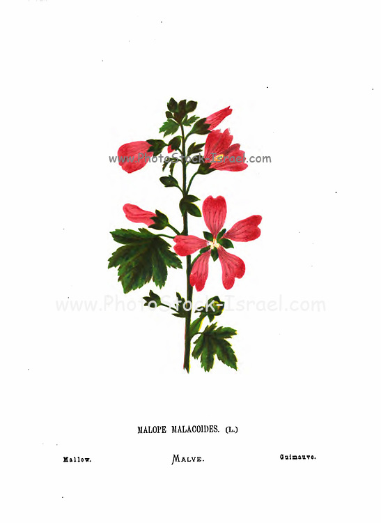 Mallow (Malope malacoides) From the book Wild flowers of the Holy Land: Fifty-Four Plates Printed In Colours, Drawn And Painted After Nature. by Mrs. Hannah Zeller, (Gobat); Tristram, H. B. (Henry Baker), and Edward Atkinson, Published in London by James Nisbet & Co 1876 on white background