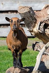 THEMENBILD - eine Ziege auf einem ländlichen Bauernhof, aufgenommen am 22. Oktober 2015, Mils, Österreich // ta goat at a regional farm, Mils, Austria on 2015/10/22. EXPA Pictures © 2015, PhotoCredit: EXPA/ Jakob Gruber
