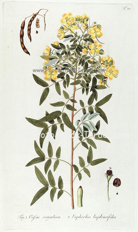 Hand painted botanical study of Cafsia (Golden Shower) tree anatomy from Fragmenta Botanica by Nikolaus Joseph Freiherr von Jacquin or Baron Nikolaus von Jacquin (printed in Vienna in 1809)
