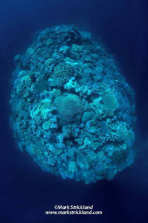 This pristine, isolated coral pinnacle is the shallowest point of a deep ridge at a dive site called The Blade. Wakatobi Marine Reserve; Tukang Besi Archipelago; Sulawesi; Indonesia; Banda Sea; Pacific Ocean