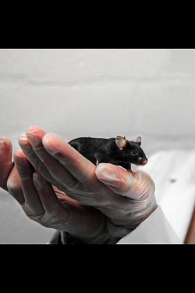 Nederland, Nijmegen, 25-9-2008Foto niet gebruiken bij artikelen over dierenexperimenten in de cosmetica-industrie, dierenmishandeling, of dierenleed. Een rat in het dierenlaboratorium van het UMCN. De dierenlabs van universiteiten moeten aan steeds strengere eisen en regelgeving voldoen mbt welzijn, huisvesting en hoeveelheid dieren waar mee onderzoek op medisch gebied gedaan wordt. Foto: Flip Franssen