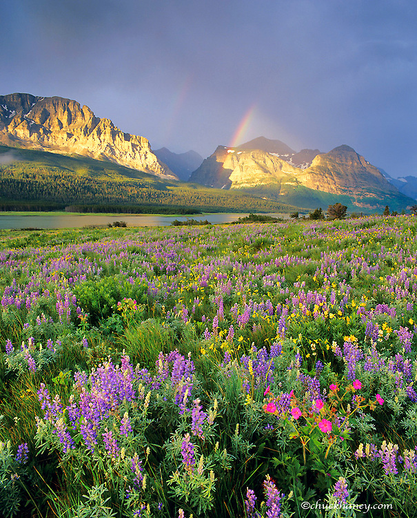 Meadow of prairie wildflowers along Lake Sherburne in the Many Glacier Valley of Glacier National Park in Montana