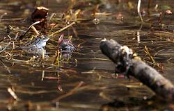 THEMENBILD - Frösche in einem Tümpel, aufgenommen am 10. April 2018, Kaprun, Österreich // Frogs in a pond on 2018/04/10, Kaprun, Austria. EXPA Pictures © 2018, PhotoCredit: EXPA/ Stefanie Oberhauser.