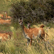 Gentle and docile, guanacos are related to the vicuna, llama and the camel. Torres del Paine National Park, Patagonia, Chile.