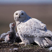 Snowy Owl (Nyctea scandiaca).Adult near nest with chicks. Barrow, Alaska. .Snowy Owl (Nyctea scandiaca).Adult near nest with chicks. Barrow, Alaska.