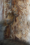 close up of a Eurasian red squirrel foot, Sciurus vulgaris, in its norther, grey winter coat, sitting on a tree in Kalvtrask, Vasterbotten, Sweden