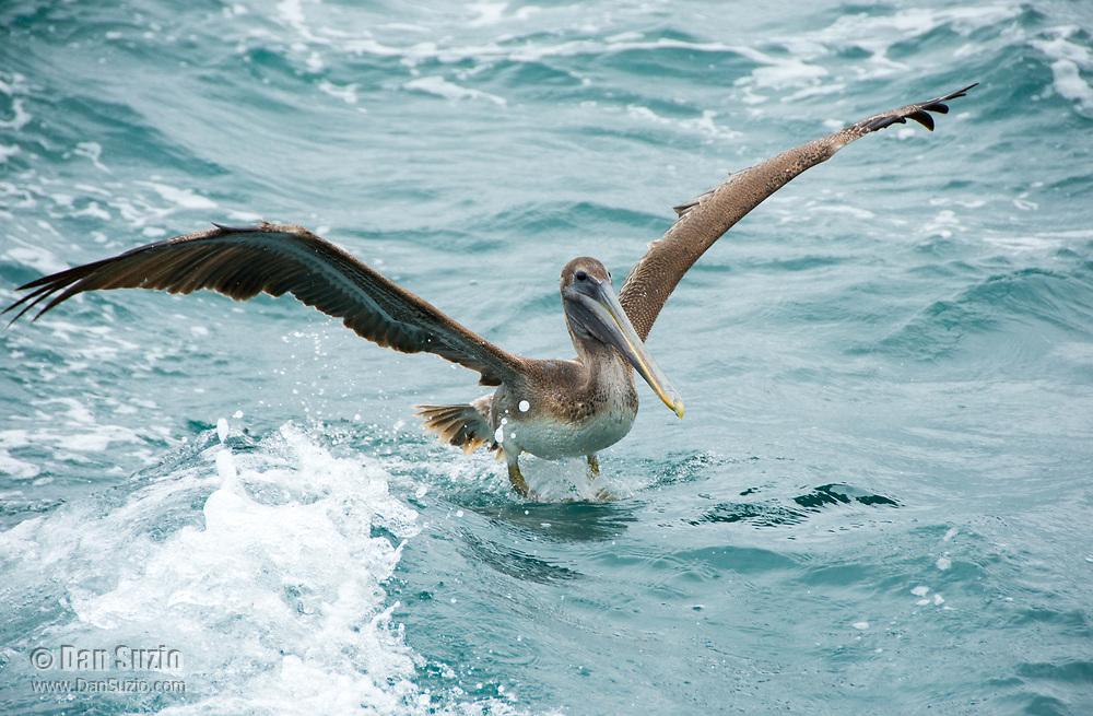 A Brown Pelican, Pelecanus occidentalis, lands in the Caribbean Sea near Gibara, Cuba