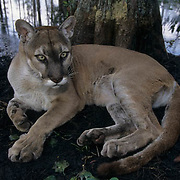 Florida Panther (Felis concolor coryi) in the Florida Everglades. Endangered Species.  Captive Animal.