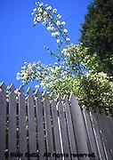 Pearl Bush, exocorda racemosa, Philadelphia gardens and arboretums, Wyck, Quaker family House and Gardens, Germantown, Philadelphia, PA
