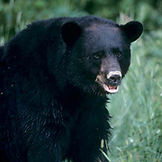Black bear (Ursus americanus).  A  large bear sitting in an open area during the summer.