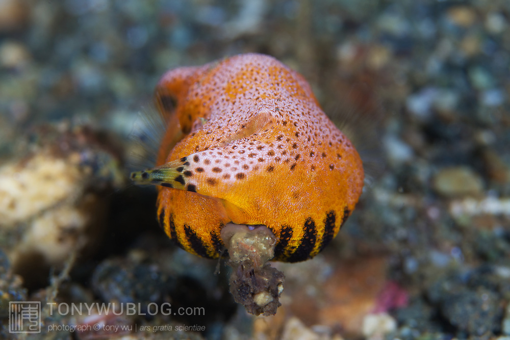 Bright orange juvenile star pufferfish (Arothron stellatus) defecating