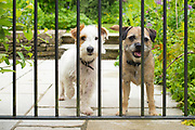 Best friends - two cute terriers, dog friends chilling out together behind bars of a garden gate. Left - Jack Russell terrier, right - Border Terrier