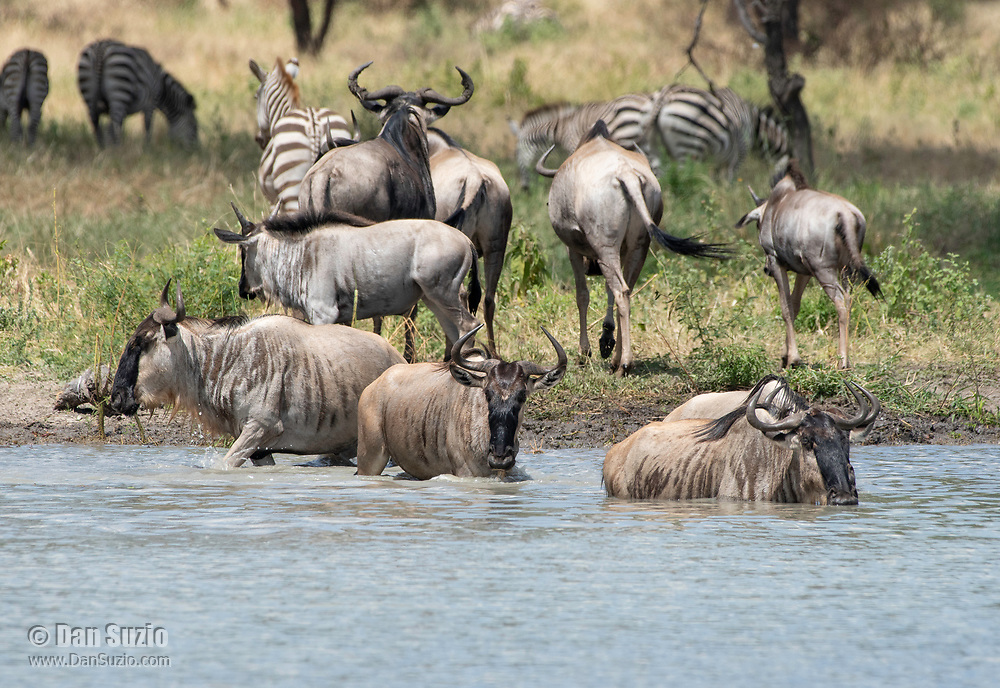 A herd of Wildebeest, Connochaetes taurinus, drinks from a pond in Tarangire National Park, Tanzania. Behind them are several Grant's Zebras, Equus quagga boehmi.