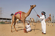 Riders and stable boys prepare camels for an early morning training workout at the racetrack in Dubai, United Arab Emirates.