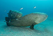 A pair of Goliath Groupers, Epinephelus itajara, court offshore Singer Island, Florida, during the late summer mating season.