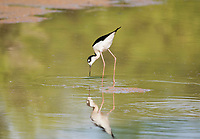 A Black-necked Stilt, Himantopus mexicanus, stands in shallow water in the Riparian Preserve at Water Ranch, Gilbert, Arizona