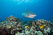 tiger shark, Galeocerdo cuvier, swims over reef with racoon butterflyfish, Chaetodon lunula, bluestripe snapper, and other reef fish, Honokohau, Kona, Big Island, Hawaii, USA ( Central Pacific Ocean )