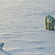 Polar Bear, (Ursus maritimus) Adult and arctic fox on Churchill, Manitoba. Canada.