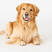 20200728 Labrador Retriever Size
