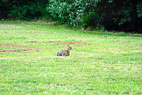 Lone Rabbit. Image taken with a Nikon D200 and 80-400 mm VR lens (ISO 100, 400 mm, f/5.6, 1/10 sec).
