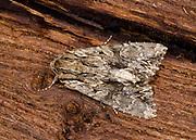 Close-up of a Dark arches moth (Apamea monoglypha) resting on wood in a Norfolk garden in summer