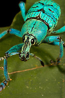A close-up of a weevil in the genus Eupholus on a leaf..