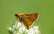 Large Skipper Butterfly, Ochlodes venatus, Macin sulucu valley, Ciucurova valley, Dobrogea, Romania, resting on Flower, showing underside of wings