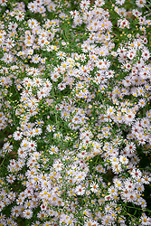 Symphyotrichum ericoides 'Rosy Veil' (formely Aster)
