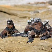 South America, Ecuador, Galapagos Islands, Santiago Island, James Island, Port Egas. Iguanas basking on the rocks.