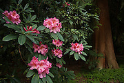 Bright red blooms of the Pacific Rhododendron (Rhododendron macrophyllum) besides a large Western Red Cedar tree (Thuja plicata) in the Washington Park Arboretum in Seattle, Washington. The city park, a living museum home to over 20,000 plant species from around the world, celebrates its 75th anniversary this year.