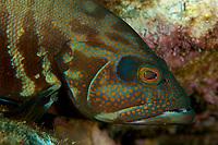 "Grouper species<br /><br />Canales de Afuera Islands<br />Coiba National Park<br />Panama<br /><br />""buffet"" dive site"