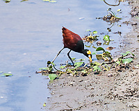 Northern Jacana (Jacana spinosa). Crooked Tree Wildlife Sanctuary. Image taken with a Nikon D3x camera and 70-300 mm VR lens