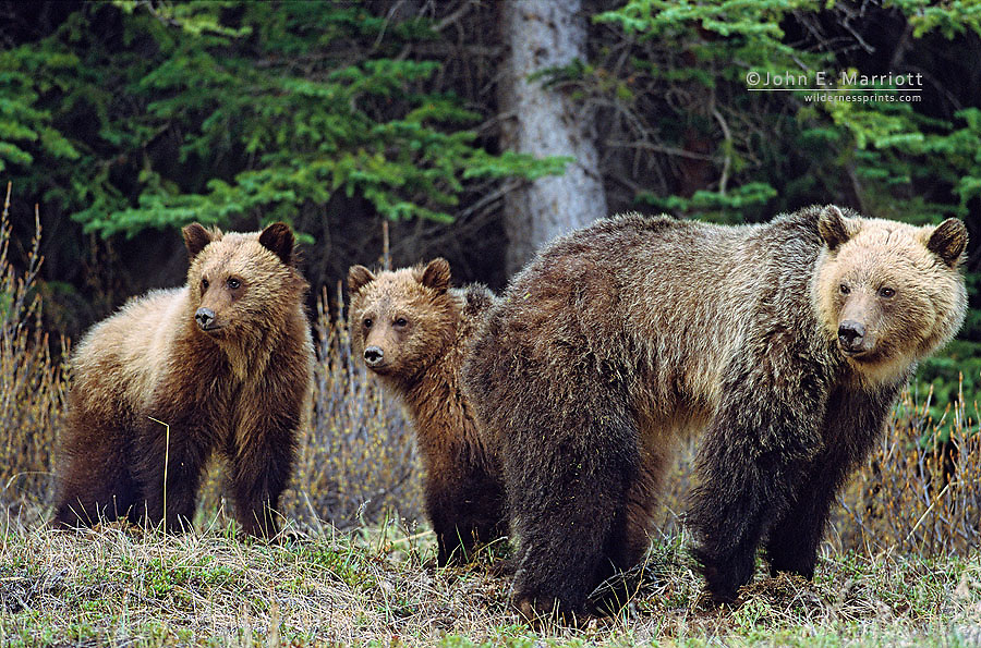 Grizzly family in the Canadian Rockies