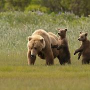 Alaskan brown bear (Ursus middendorffi) mother with two young cubs standing up on their hind legs. Katmai National Park & Preserve, Alaska