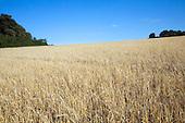 Suffolk Farming - crops