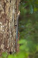 Skinks (Scincidae)