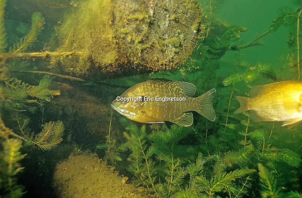 Hybrid Sunfish (Bluegill-Green Sunfish)<br /> <br /> ENGBRETSON UNDERWATER PHOTO