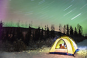 A West Highland White Terrier standing in an illuminated tent under a starry sky of star trails in the north, Alaska,USA