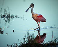 Roseate Spoonbill wading along Black Point Wildlife Drive. Image taken with a Nikon Df camera and 500 mm f/4 VR lens (ISO 100, 500 mm, f/4, 1/400 sec).