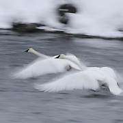 A pair of Trumpeter Swans take flight on the Madison River, Yellowstone National Park, Wyoming.