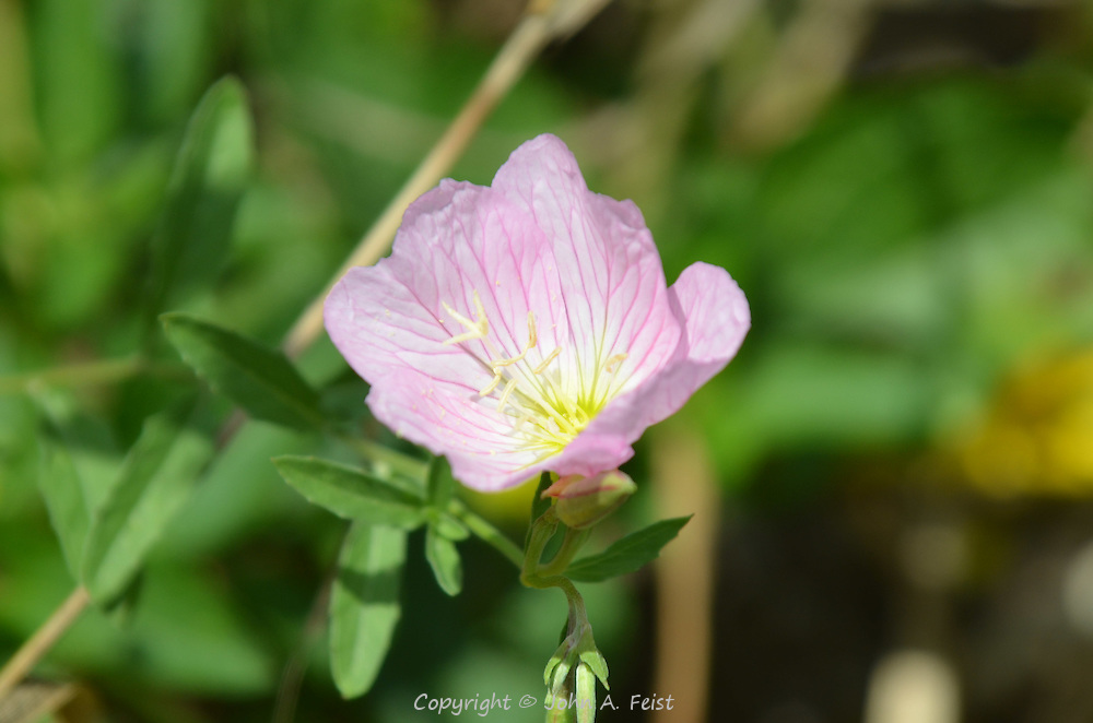 The delicate colors of this small flower are dazzling in the sunlight.  Omega Institute, Rhinebeck, NY