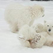 Polar Bear cub of the year rolling in the snow. Cape Churchill, Manitoba, Canada