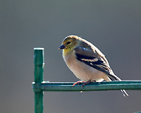 American Goldfinch. Image taken with a Nikon D850 camera and 600 mm f/4 VR lens