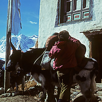 A Sherpa yak herder loads his animal outside a house in Pangboche, near Mount Everest Base Camp. (Photo taken December 1979)