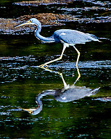 Tricolored Heron (Egretta tricolor). Weedon Island Preserve. Pinellas County, Florida. Image taken with a Nikon D300 camera and 80-400 mm VR lens.