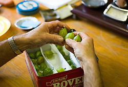 © Licensed to London News Pictures.04/08/15<br /> Egton, UK. <br /> <br /> <br /> Gooseberries are checked before being weighed during the annual Egton Gooseberry Show. <br /> There are only two Gooseberry societies left in the country. One in Cheshire and one at Egton in North Yorkshire. The annual show in Egton uses traditional Avoridupois scales to measure the weight of the berries and members of the society are fanatical about trying to grow the best berries each year. <br /> <br /> Photo credit : Ian Forsyth/LNP