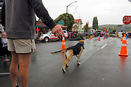 Hunterville, New Zealand - October 27, 2018 - A shepherd sets his dog off on a course to test its skills in listening to instructions. The event was part of the annual Shemozzle festival in this New Zealand rural town that sees shepherds and their dogs tackle an obstacle race that includes drinking curdled milk and carrying bulls testicles several metres in the mouth. Picture: Giordano Stolley