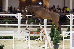071, Carrement J&F Champblanc<br /> BWP Hengsten keuring Koningshooikt 2015<br /> © Hippo Foto - Dirk Caremans<br /> 21/01/16